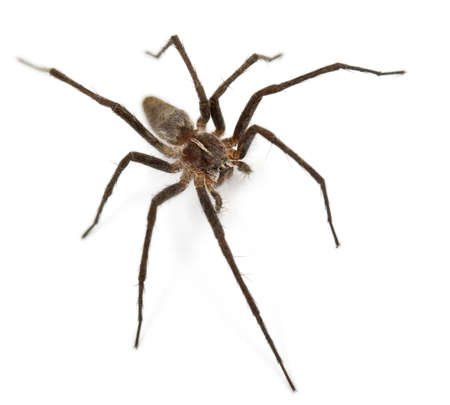nursery web spider: Nursery web spider, Pisaura mirabillis, in front of white background