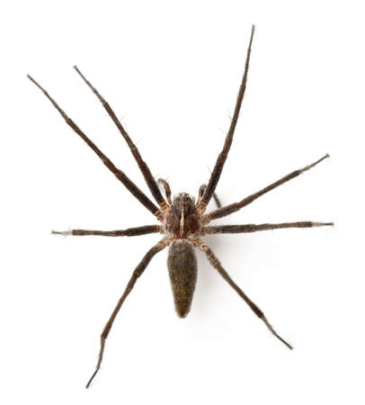 pisaura mirabillis: Nursery web spider, Pisaura mirabillis, in front of white background