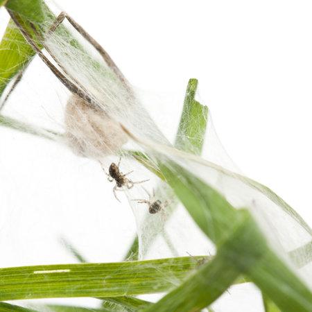 pisaura mirabillis: Nursery web spider, Pisaura mirabillis, spiderlings in nest in front of white background Stock Photo