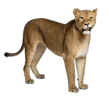 Lioness, Panthera leo, 3 years old, standing in front of white background photo
