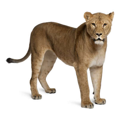 panthera leo: Leona, Panthera leo, 3 a�os de edad, de pie delante de fondo blanco Foto de archivo
