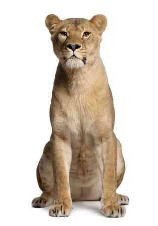 panthera leo: Leona, Panthera leo, 3 a�os de edad, sentado delante de fondo blanco Foto de archivo