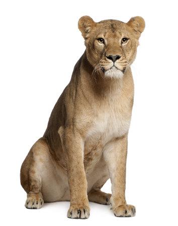 Leona, Panthera leo, 3 años de edad, sentado delante de fondo blanco