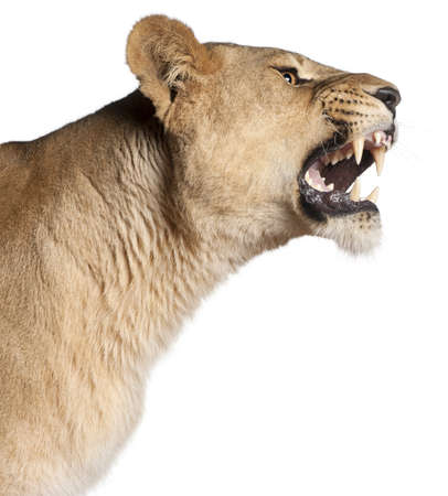 Lioness, Panthera leo, 3 years old, snarling in front of white background Stock Photo - 11613115