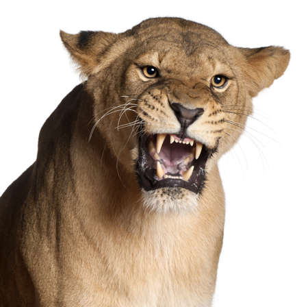 roar: Lioness, Panthera leo, 3 years old, snarling in front of white background