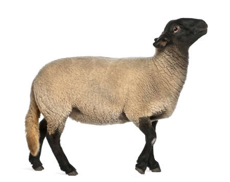 sheep: Female Suffolk sheep, Ovis aries, 2 years old, standing in front of white background