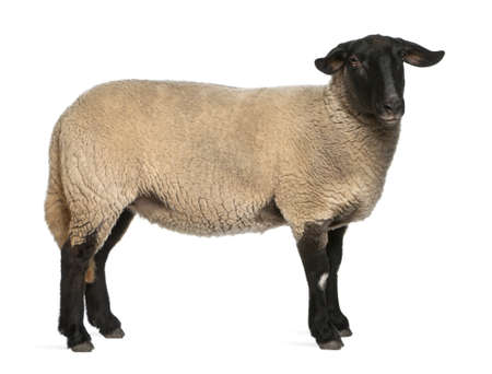 2 years old: Female Suffolk sheep, Ovis aries, 2 years old, standing in front of white background