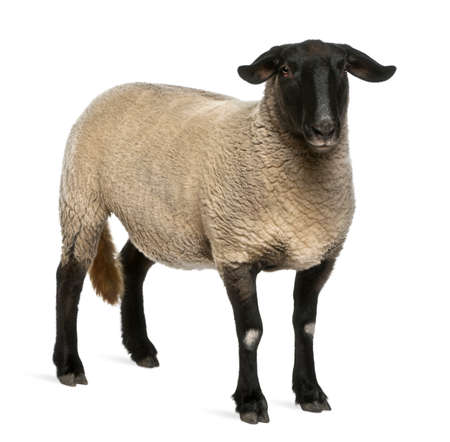ovis: Female Suffolk sheep, Ovis aries, 2 years old, standing in front of white background