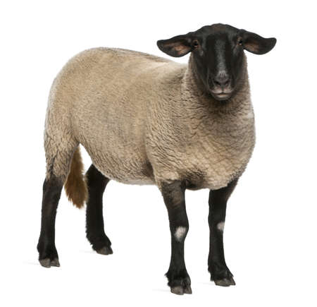 suffolk: Female Suffolk sheep, Ovis aries, 2 years old, standing in front of white background