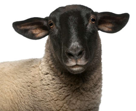 2 years old: Female Suffolk sheep, Ovis aries, 2 years old, portrait in front of white background