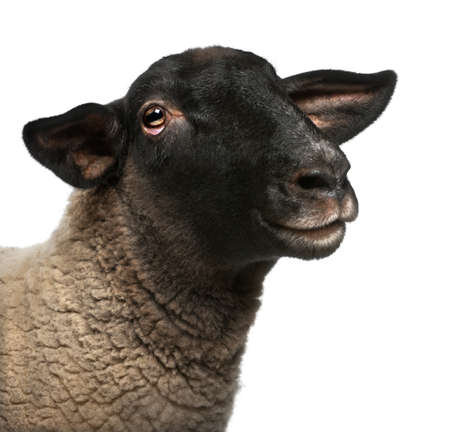 ovis: Female Suffolk sheep, Ovis aries, 2 years old, portrait in front of white background