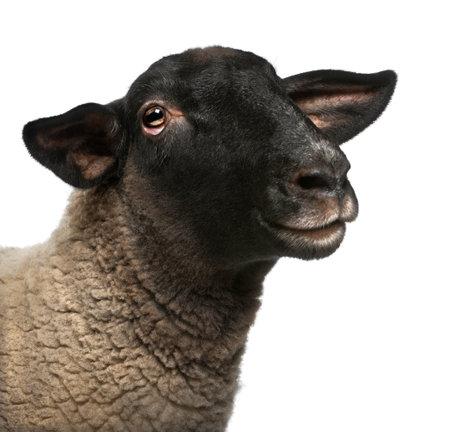 pecora: Maschio pecore Suffolk, Ovis aries, 2 anni, ritratto di fronte a sfondo bianco