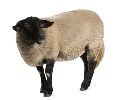 black sheep: Female Suffolk sheep, Ovis aries, 2 years old, standing in front of white background