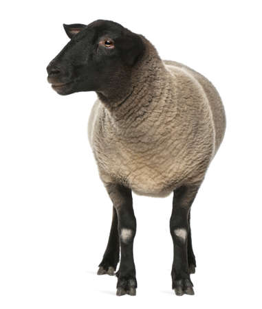 ovelha: Female Suffolk sheep, Ovis aries, 2 years old, standing in front of white background