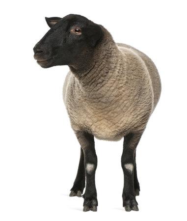 pecora: Maschio pecore Suffolk, Ovis aries, 2 anni, in piedi davanti a sfondo bianco