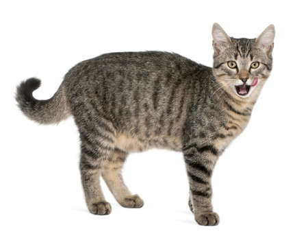 crossbreed: Mixed-breed cat, Felis catus, 6 months old, standing in front of white background