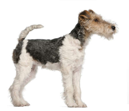 Fox Terrier puppy, 4 months old, in front of white background photo