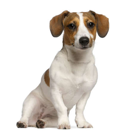 russell: Jack Russell Terrier, 11 months old, sitting in front of white background