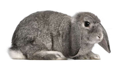 French Lop rabbit, 2 months old, Oryctolagus cuniculus, sitting in front of white background photo