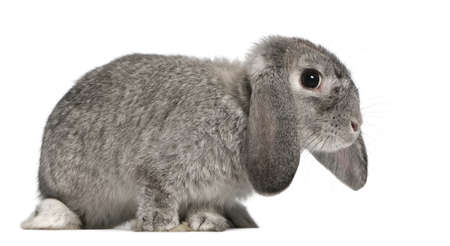 lop lop rabbit white: French Lop rabbit, 2 months old, Oryctolagus cuniculus, sitting in front of white background