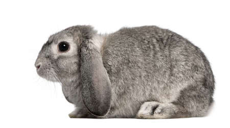 2 months: French Lop rabbit, 2 months old, Oryctolagus cuniculus, sitting in front of white background
