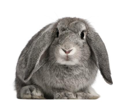 conejo: Franc�s Lop conejo, 2 meses de edad, Oryctolagus cuniculus, sentado delante de fondo blanco