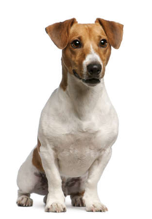 jack russell terrier: Jack Russell Terrier, 12 months old, sitting in front of white background