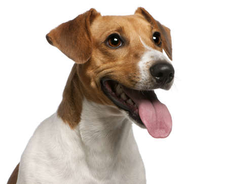 animal tongue: Close-up of Jack Russell Terrier, 12 months old, in front of white background Stock Photo