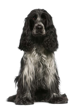 English Cocker Spaniel, 2.5 years old, sitting in front of white background photo