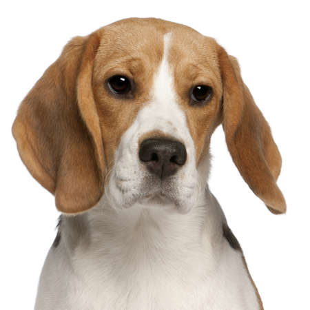 Close-up of Beagle puppy, 6 months old, in front of white background photo