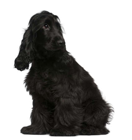 English Cocker Spaniel puppy, 5 months old, sitting in front of white background photo