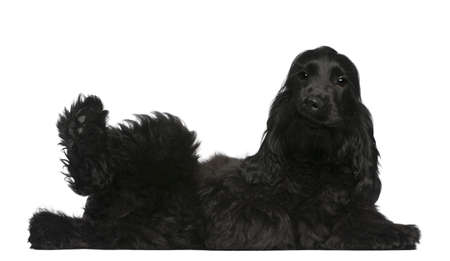 english cocker spaniel: English Cocker Spaniel puppy, 5 months old, lying in front of white background