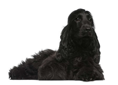 English Cocker Spaniel puppy, 5 months old, lying in front of white background photo