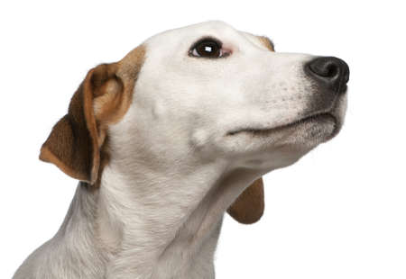 looking over: Close-up of Jack Russell Terrier, 16 months old, in front of white background Stock Photo