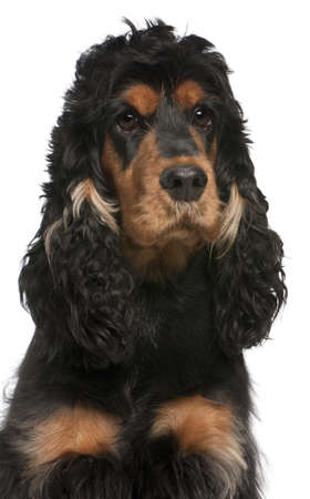 Close-up of English Cocker Spaniel, 2 years old, in front of white background Stock Photo - 11615264