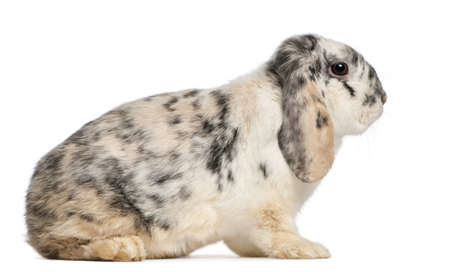 oryctolagus cuniculus: Tri Color Spotted French Lop rabbit, 2 months old, Oryctolagus cuniculus, sitting in front of white background Stock Photo