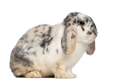 tri  color: Tri Color Spotted French Lop rabbit, 2 months old, Oryctolagus cuniculus, sitting in front of white background Stock Photo