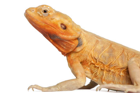 bearded dragon lizard: Close-up of Central Bearded Dragon, Pogona vitticeps, in front of white background