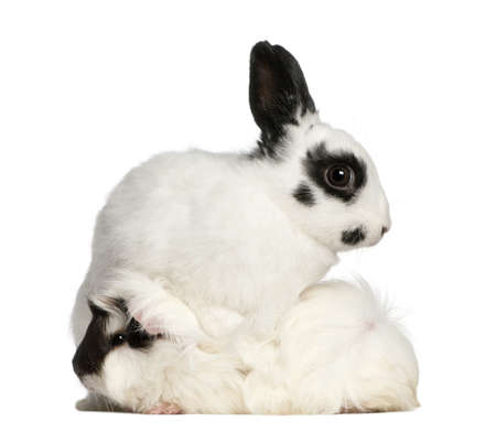 white rabbit: Dalmatian rabbit, 2 months old, and an Abyssinian Guinea pig, Cavia porcellus, sitting in front of white background Stock Photo