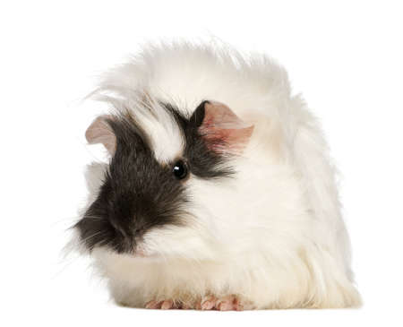 pig out: Abyssinian Guinea pig, Cavia porcellus, sitting in front of white background