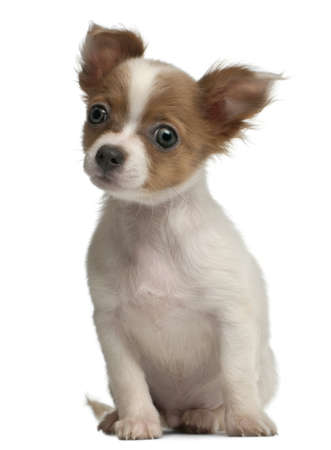 Chihuahua, 3 months old, sitting in front of white background photo