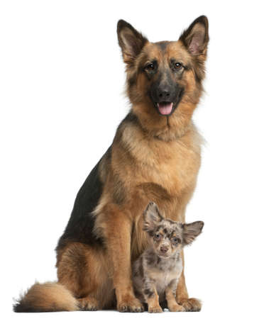 German shepherd, 3 years old, and Chihuahua, 4 months old, sitting in front of white background photo