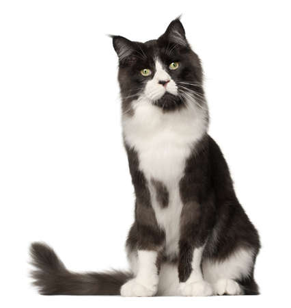 Maine Coon cat, 15 months old, sitting in front of white background photo