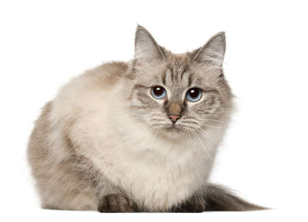 gray cat: Siberian cat, in front of white background