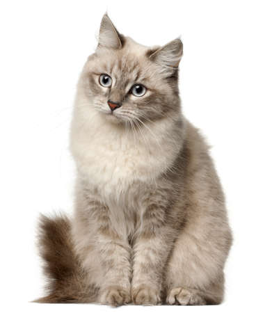gray eyes: Siberian cat, sitting in front of white background