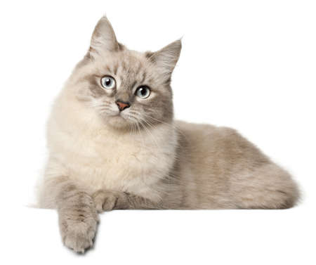 Siberian cat, in front of white background