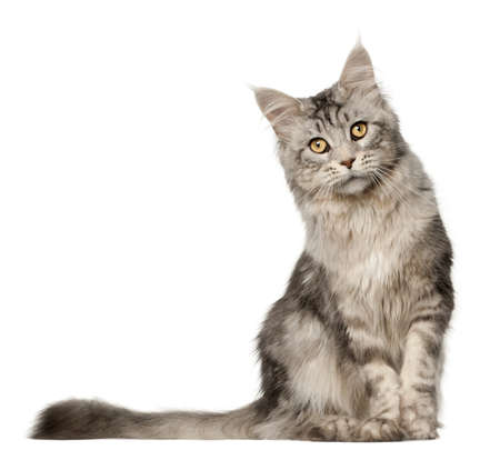 purebred cat: Maine Coon cat, 1 year old, sitting in front of white background Stock Photo