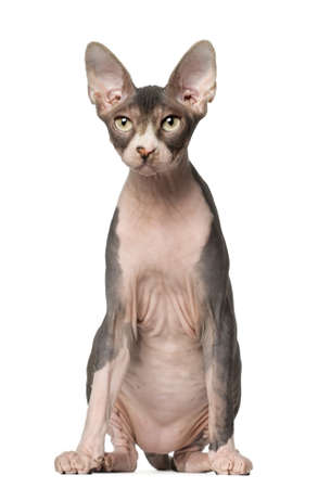 Sphynx cat, 7 months old, sitting in front of white background photo