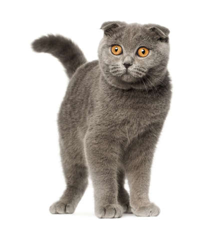 Scottish Fold kitten, 4 months old, standing in front of white background photo