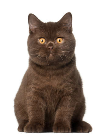 british shorthair: British shorthair cat, kitten, 4 months old, sitting in front of white background